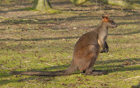 stock photo of tammar wallaby  - Close - JPG
