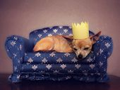 a cute chihuahua with a crown on napping on a couch
