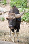 Gaur Licking Nose