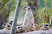 Group Of Slender-tailed Meerkat
