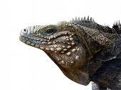 Iguana Portrait Isolated On White