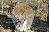 stock photo of wallabies  - a wallaby and baby in a field - JPG