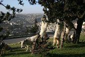 Goats In Jerusalem
