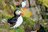 Puffin On Iceland