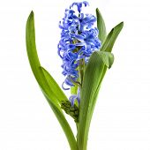 blue hyacinth flower isolated on a white background