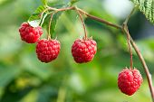 Beautiful Berries On Blur Green Background Of Leaves