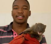 Grey Mongoose Rescued From Traditional African