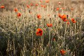 Poppies In The Dew