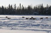 deers in swedish Lapland