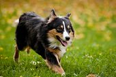 Australian shepherd walks in autumn