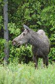 Grey Moose