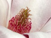 image of saucer magnolia  - closeup of the center of a pink magnolia flower - JPG