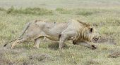 Male Lion Stalking, (panthera Leo) Tanzania
