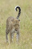 Female African Leopard Walking, Tanzania