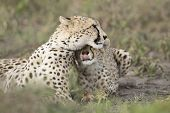 Female Cheetah With Her Cub (acinonyx Jubatus) In Tanzania