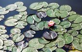 stock photo of lillies  - Beautiful lilly blooming among lilly pads in a sunny pond - JPG