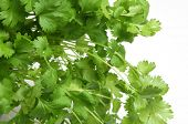 Fresh coriander or cilantro herb on white background