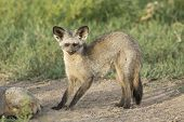 Bat-eared Fox (otocyon Megalotis) Tanzania