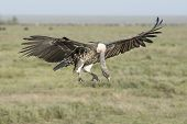 A Ruppells Vulture Landing, Tanzania