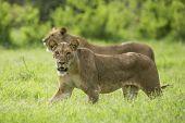 African Lion Walking In Samburu Kenya