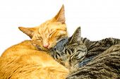 stock photo of snoopy  - Two cats sleeping together - JPG