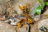 Hornets Eat Fish