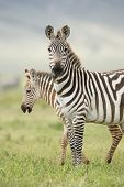 Female Zebra With Foal, Tanzania