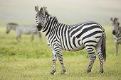 Adult Common Zebra, Ngorongoro Crater, Tanzania