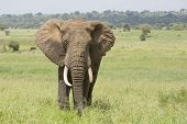 Bull African Elephant (loxodonta Africana) In Tanzania