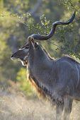 Male Greater Kudu Bull, (tragelaphus Strepsiceros), South Africa