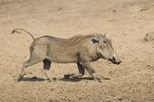 Female Warthog (phacochoerus Africanus) Running, South Africa