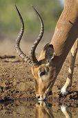 Male Impala Drinking Water (aepyceros Melampus) Botswana