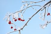 Red Viburnum Berries In Frost In Winter And Blue Sky At Sunny Day.