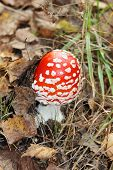 Beautiful Little Red Fly Agaric Among Grass In Forest At Autumn Day.