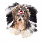 Biewer-yorkshire Terrier