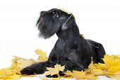 Schnauzer Dog Breed In The Maple Leaves