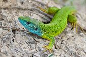 pic of lizard skin  - Male of green lizard   - JPG