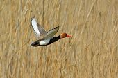 picture of crested duck  - Red Crested pochard  - JPG