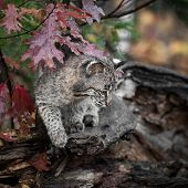 Young Bobcat (Lynx rufus) On Autumn Log