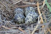 Lapwing Nest With Four Eggs
