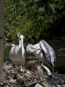 Pelican paar
