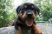 Rottweiler Puppy 6