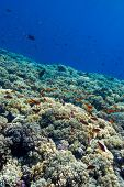 colorful coral reef with hard corals on the bottom of tropical sea on blue water background- underwa