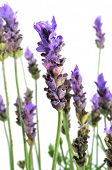 closeup of somme lavender flowers on a white background