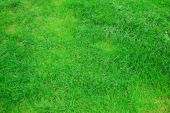 pic of gilf  - green grass texture on a meadow or grassland - JPG