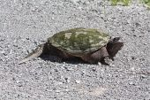 Common Snapping Turtle Tu066
