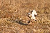 Mating Crowned Lapwings
