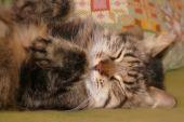 Sleeping Siberian Cat