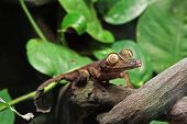 picture of gekko  - A Leaf Gecko - JPG
