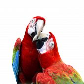 Best Of Kissing Sweet Macaw, Green-winged Macaw, Red Green Blue Macaw, Green Wings Macaw, Red Macaw